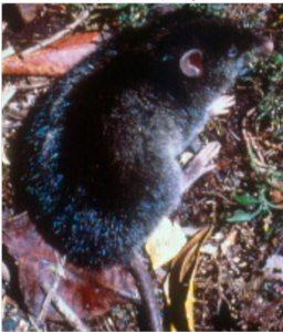 isarog striped shrew rat