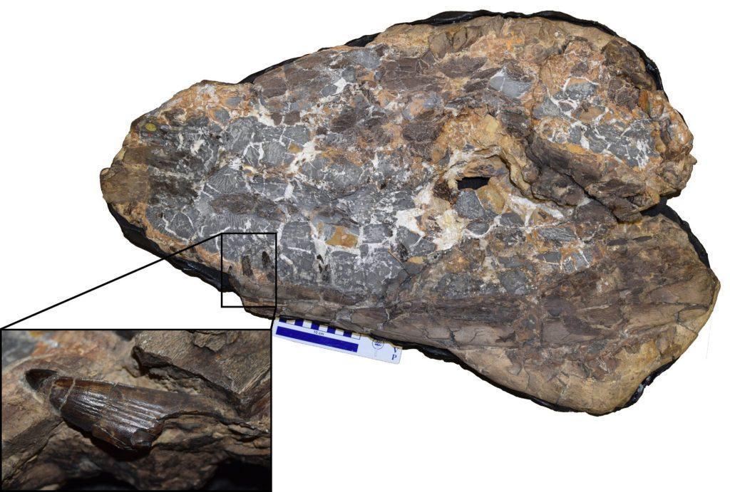 crocodile, fossil, jurassic