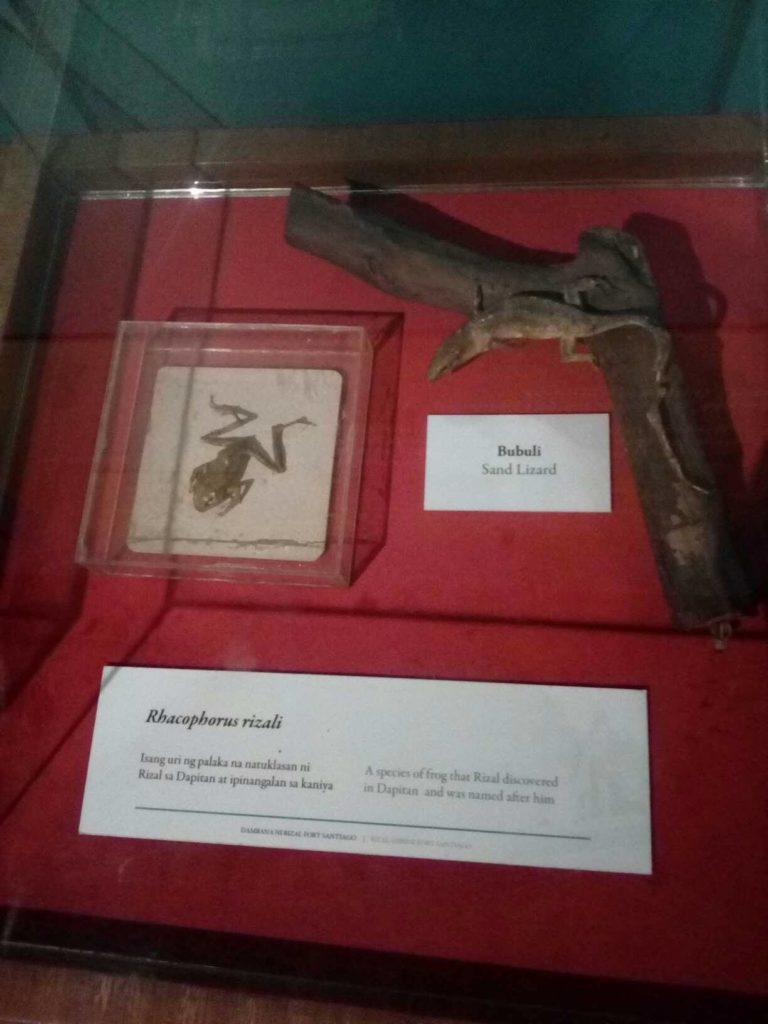 Rhacophorus rizali frog named after philippine hero jose rizal