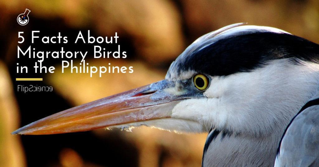heron, grey heron, migratory, birds