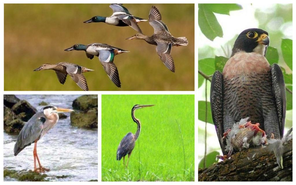migratory bird, migratory birds, Northern Shoveler, Peregrine Falcon, Purple Heron, Grey Heron