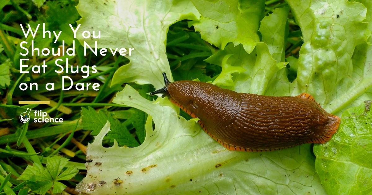 slugs, rat lungworm