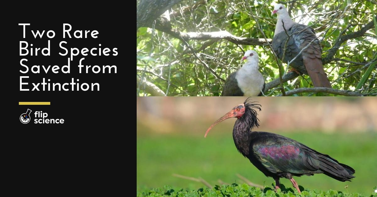 ibis, pigeon