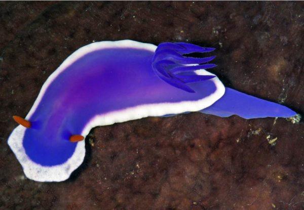 sea slug, philippines