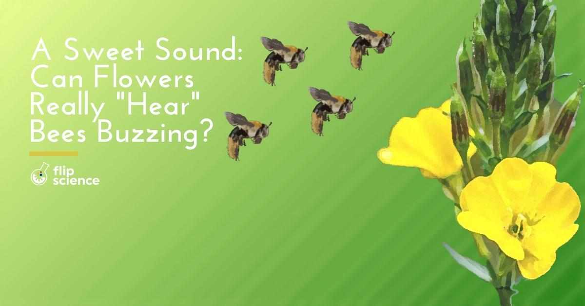 bee, bees, flower, flowers, primroses, primrose, Oenothera drummondii