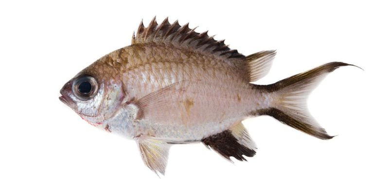chromis gunting, species, academy