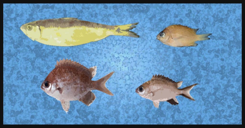 sardinella pacifica, s. pacifica, chromis gunting, c. gunting, Chromis hangganan, c. hangganan, chromis bowesi, c. bowesi