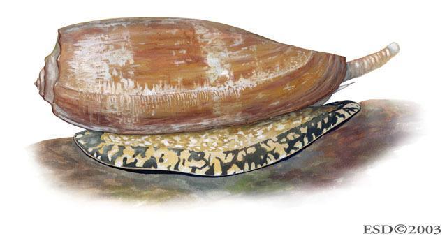 conus geographus