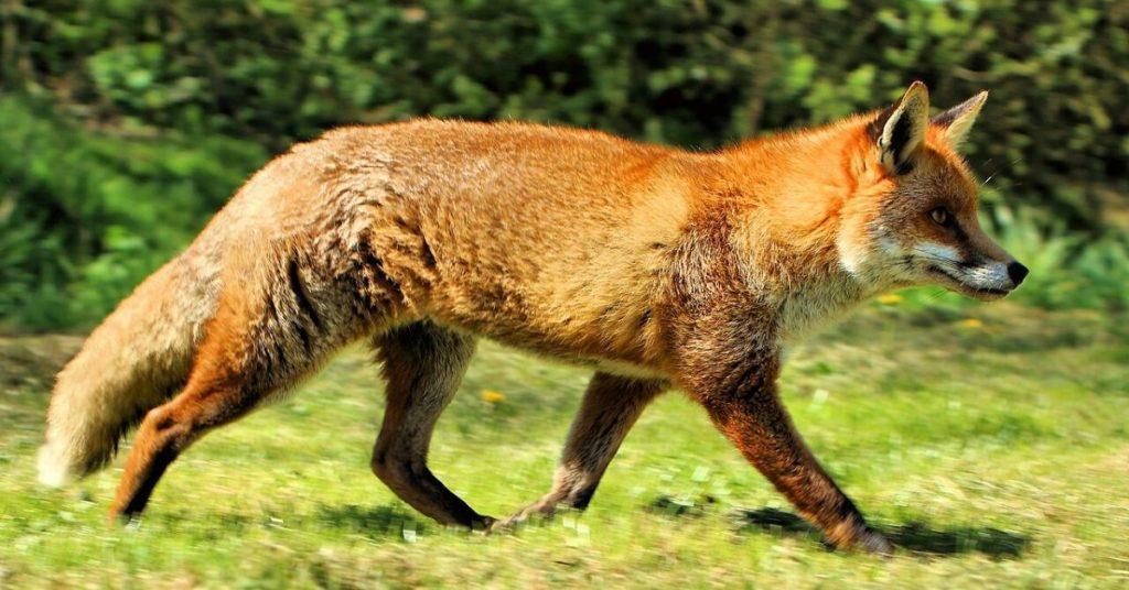 rabies, fox, foxes, coffee, flipfact, flipfacts, flipscience