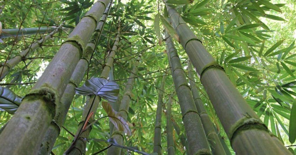 bamboo, flipfact, flipfacts, flipscience