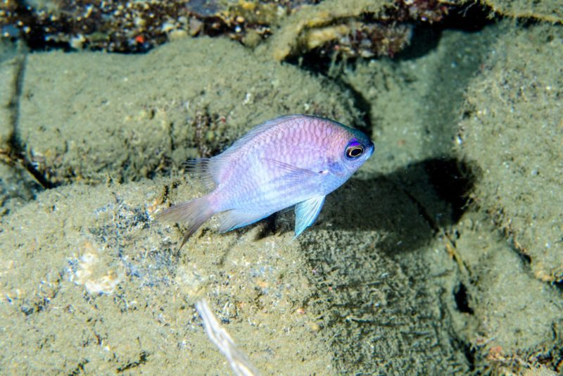 chromis bowesi, species, academy
