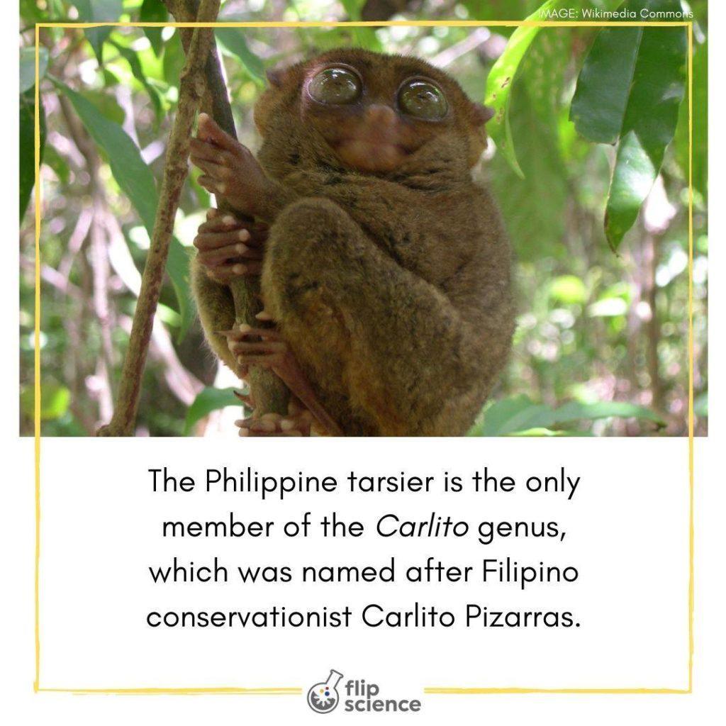 tarsier, flipfact, flipfacts