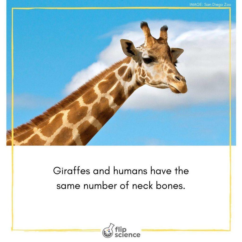 flipfact, flipfacts, flipscience, giraffe, giraffes