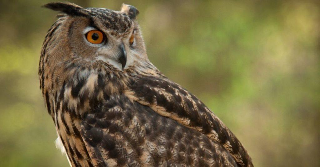 flipfact, flipfacts, owl, owls