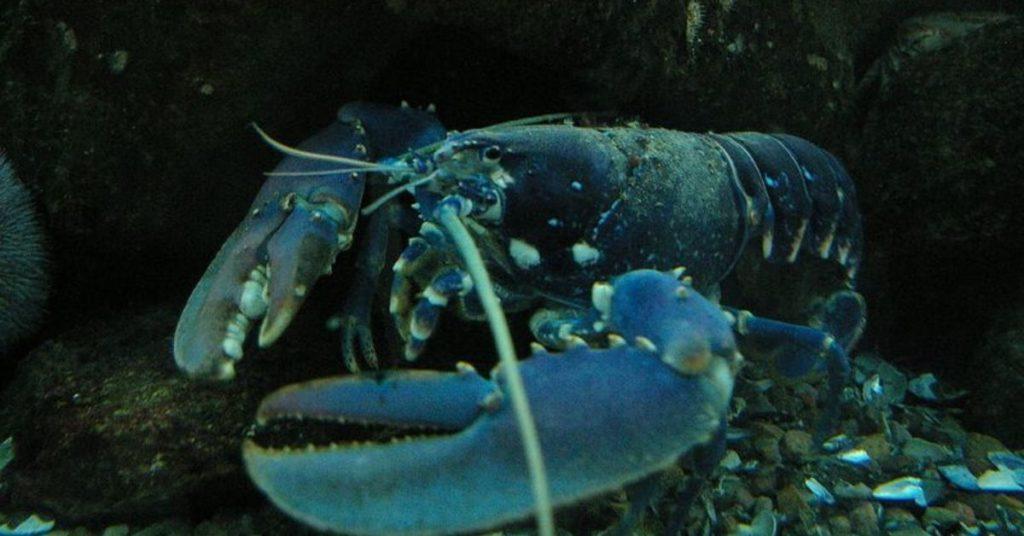 lobster, flipfact, flipfacts, flipscience