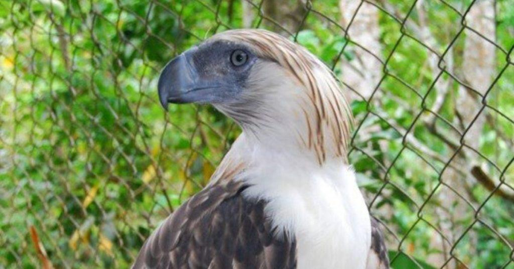 Pag-asa, <b> The first Philippine Eagle bred in captivity has died </b>
