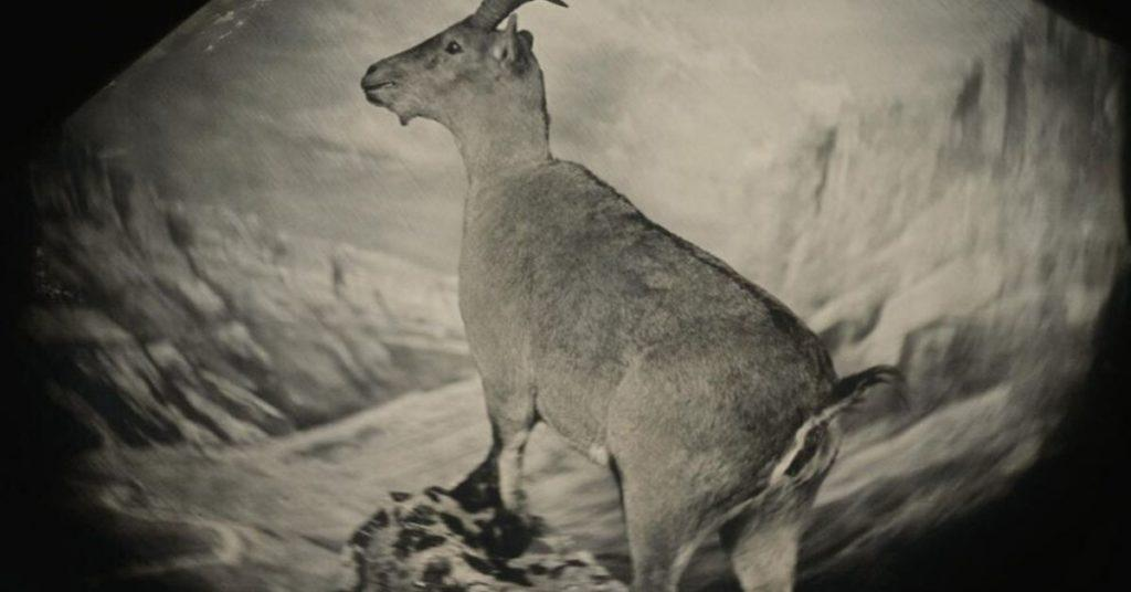 bucardo, pyrenean ibex, flipfact, flipfacts, flipscience