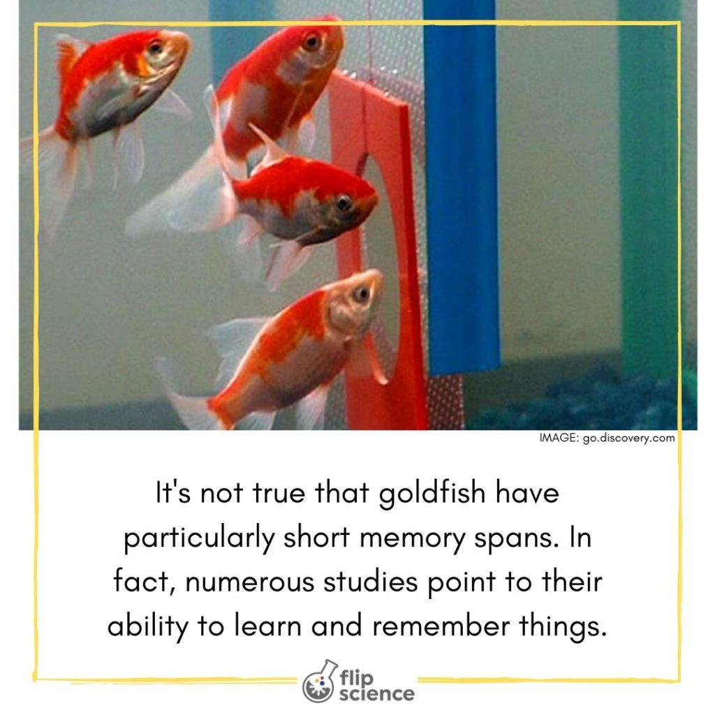 flipfacts, flipfact, flipscience, goldfish