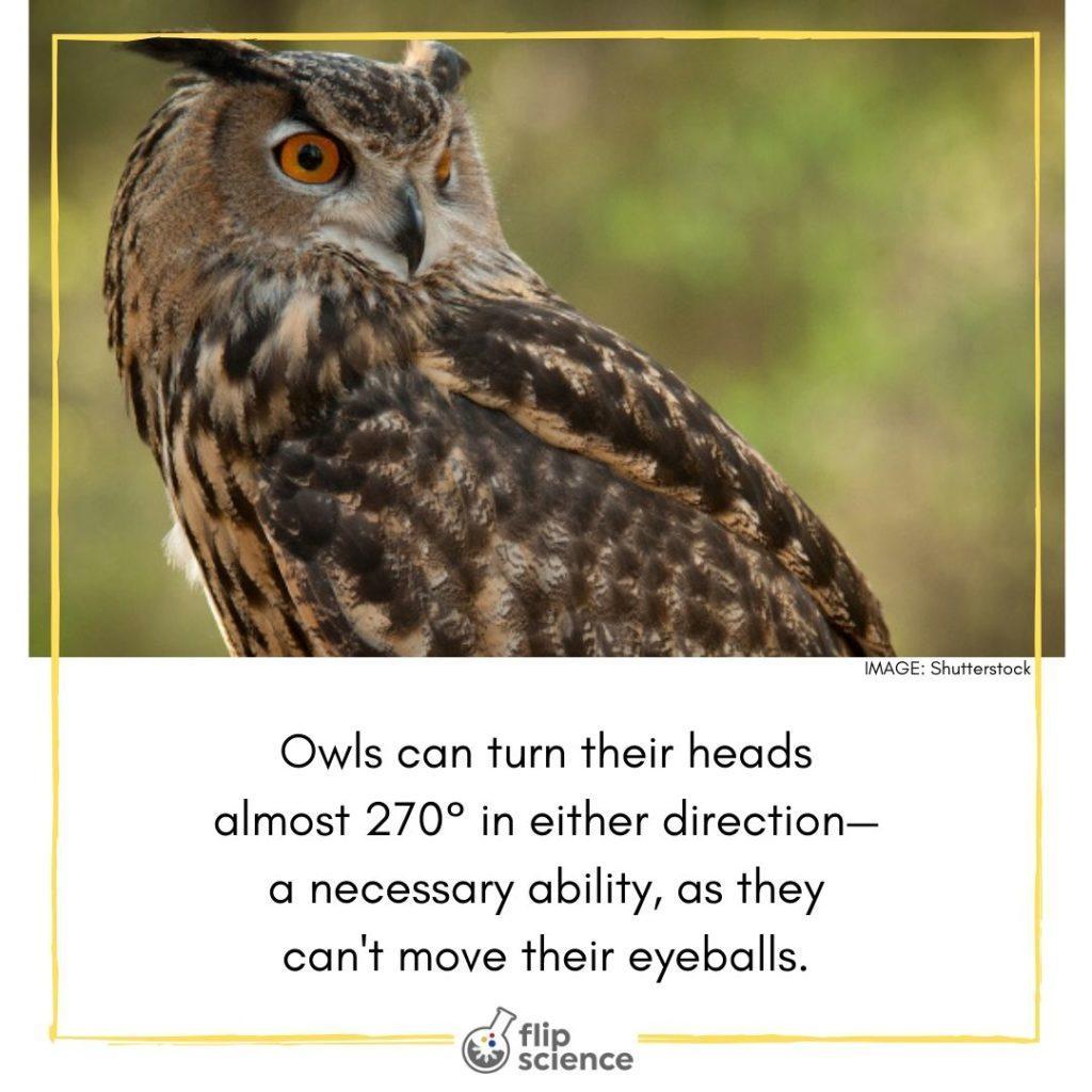 owl, owls, flipfact, flipfacts
