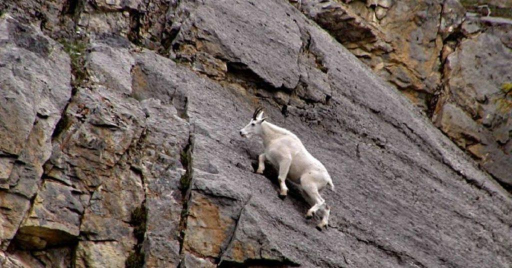 mountain goat, mountain goats, flipfact, flipfacts, flipscience