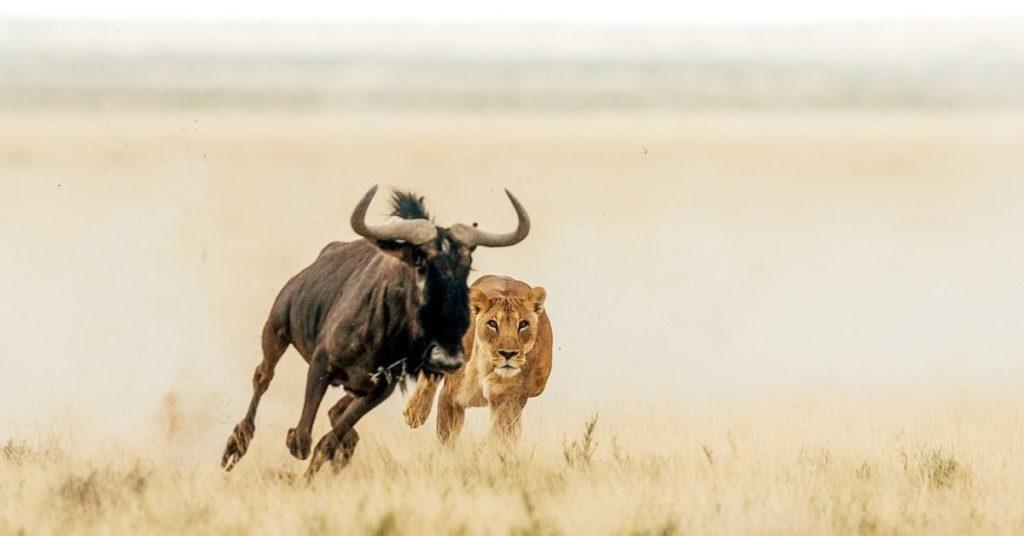 lioness, lionesses, flipfact, flipfacts, flipscience
