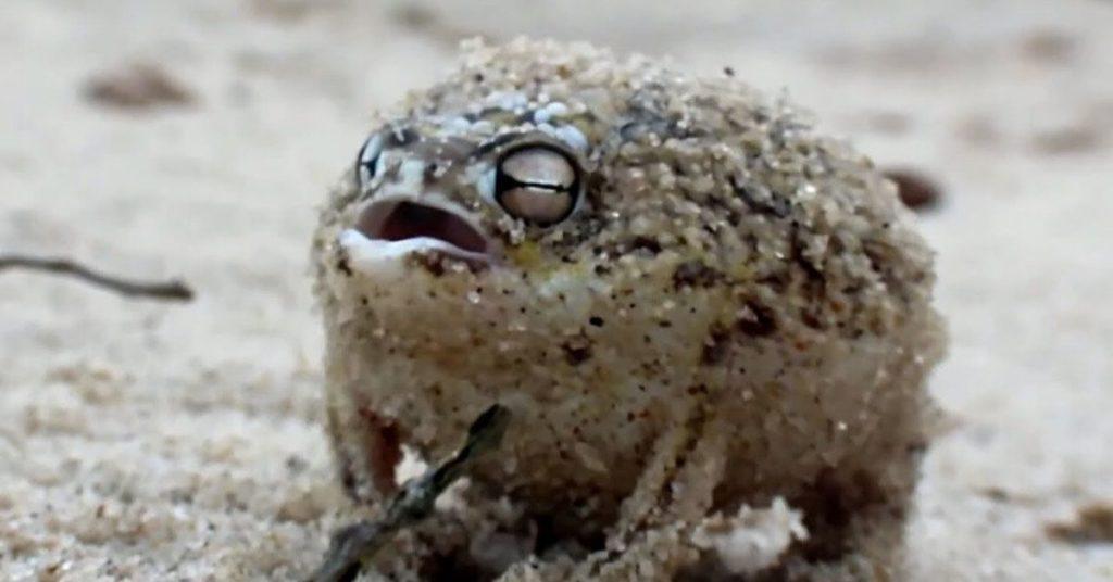 desert rain frog, flipfact, flipfacts, flipscience
