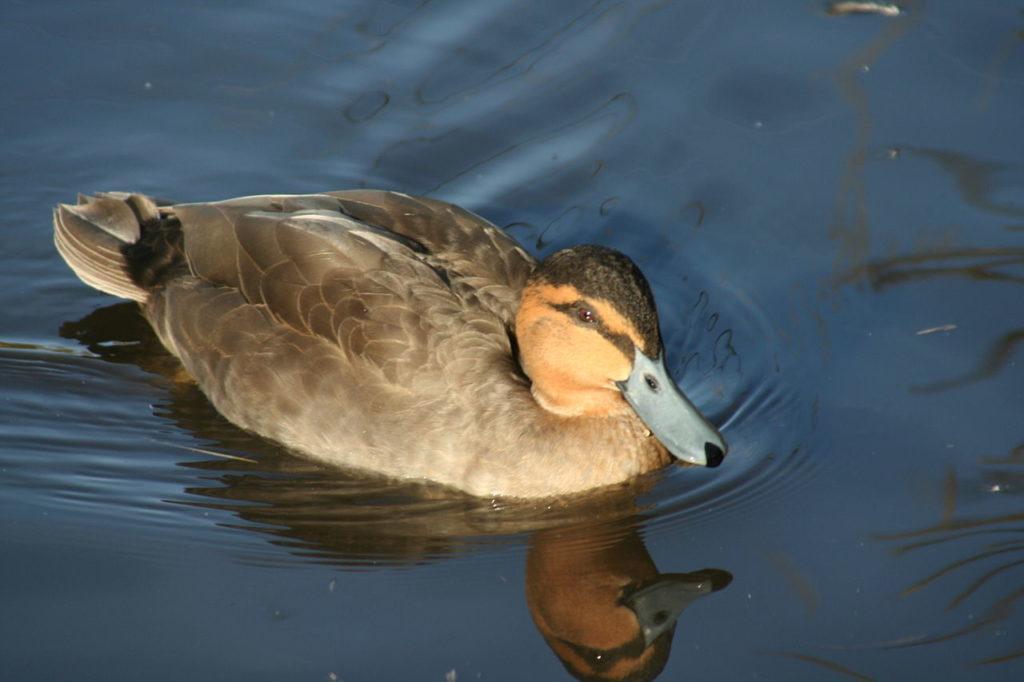 Anas luzonica, philippine mallard, philippine duck