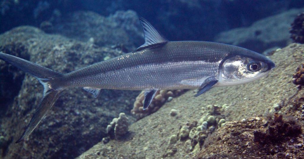 flipfact, flipfacts, flipscience, bangus, milkfish