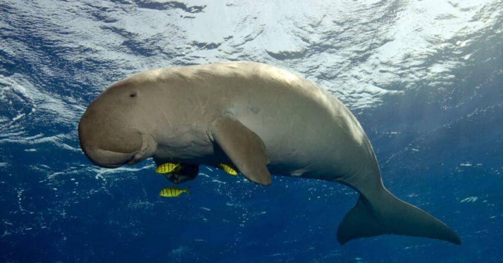 flipfact, flipfacts, flipscience, dugong