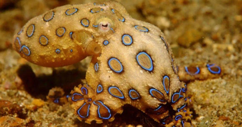 flipfact, flipfacts, flipscience, blue-ringed octopus, greater blue-ringed octopus