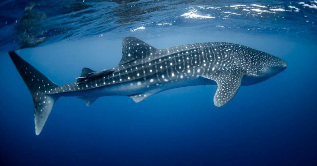flipfact, flipfacts, flipscience, whale shark