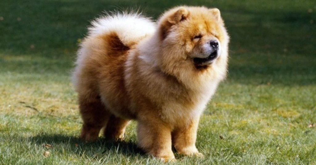 flipfact, flipfacts, flipscience, dogs, dog, chocolate, theobromine, chowchow