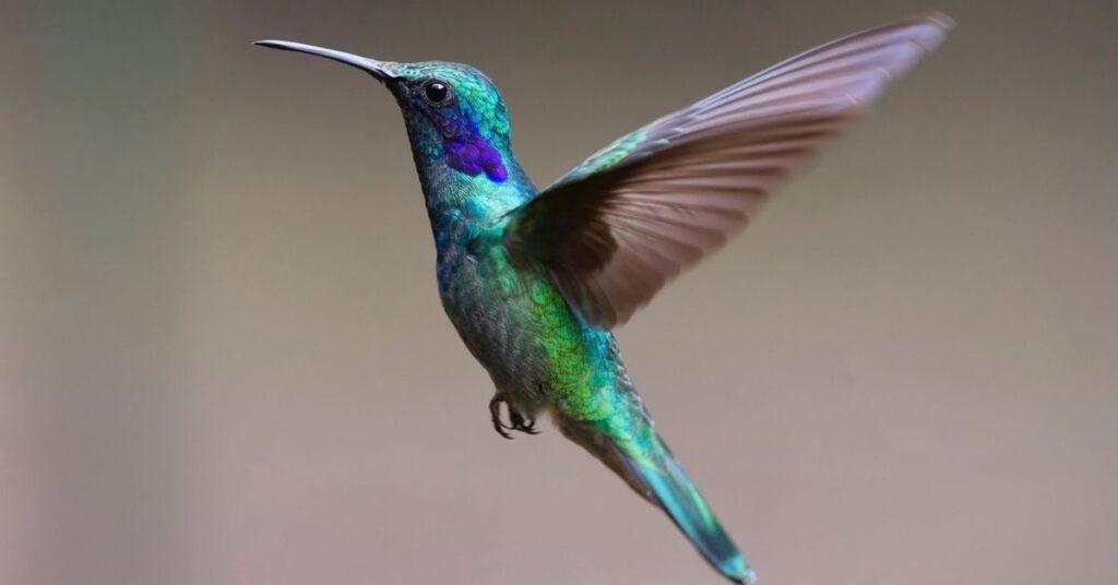 hummingbird, hummingbirds