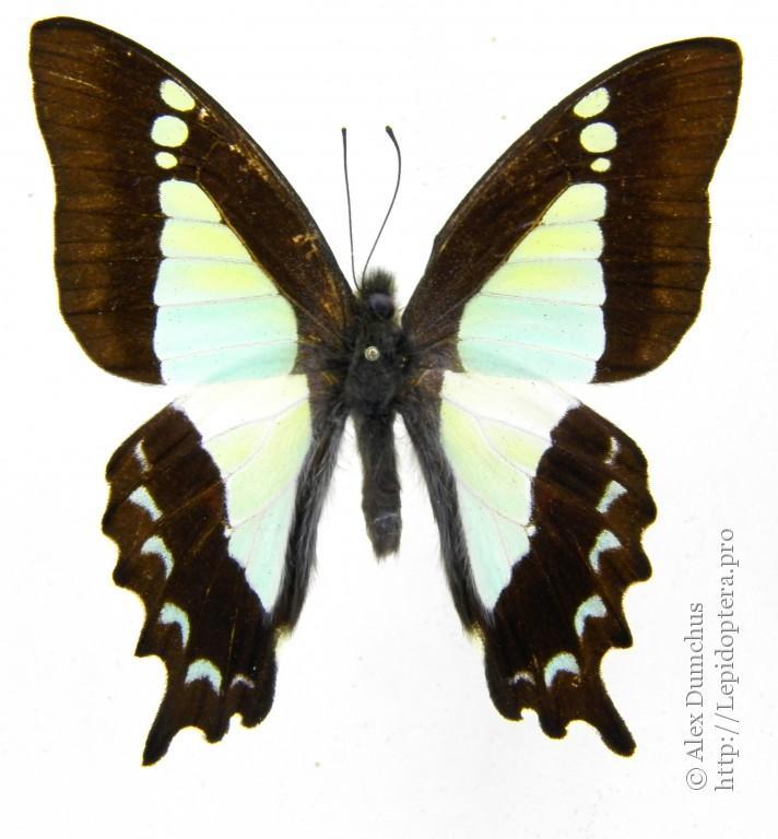 Apo swallowtail