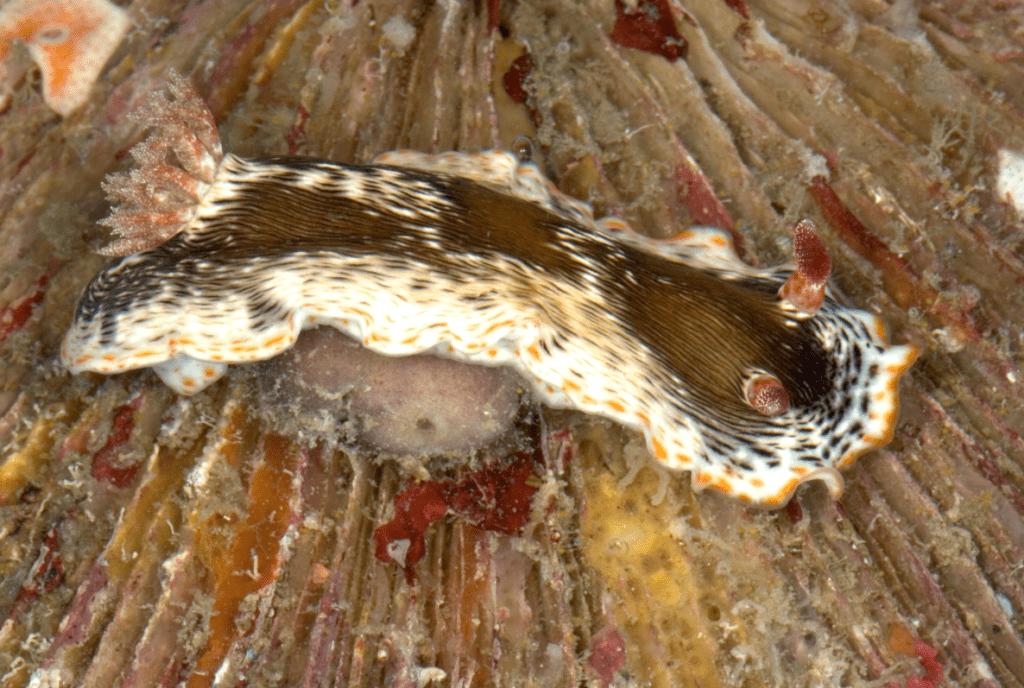 Qua the Nudibranch Chromodoris quagga
