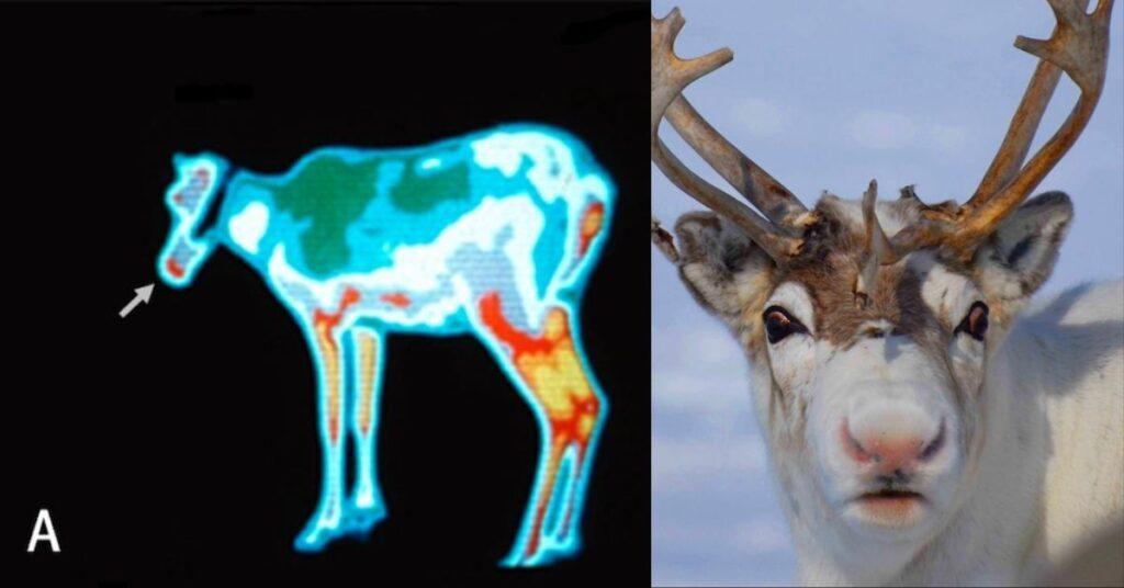 flipfact, flipfacts, flipscience, reindeer
