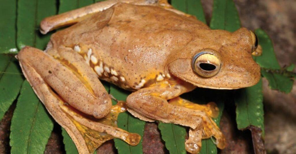 flipfact, flipfacts, flipscience, jose rizal, frog, rhacophorus rizali