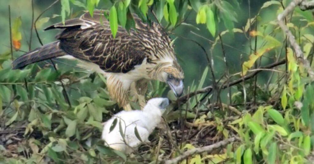 flipfact, flipfacts, flipscience, monkey-eating eagle, philippine eagle