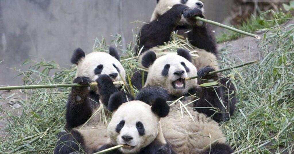 flipfact, flipfacts, flipscience, giant panda, bamboo