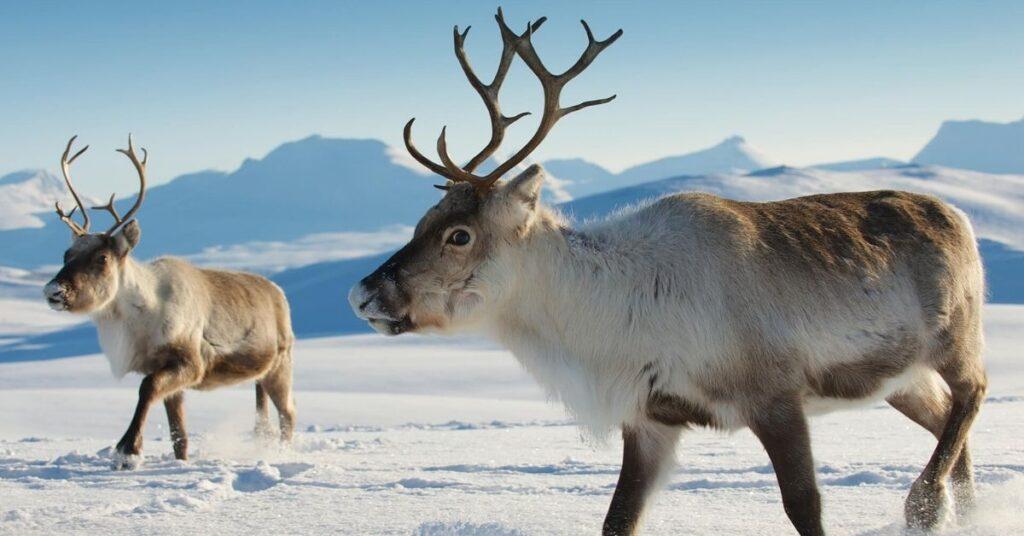 flipfact, flipfacts, flipscience, reindeer, arctic reindeer