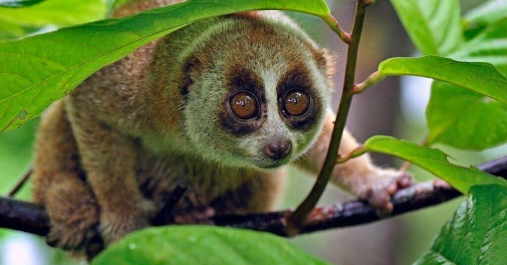 flipfact, flipfacts, flipscience, slow loris, Nycticebus, Nycticebus menagensis