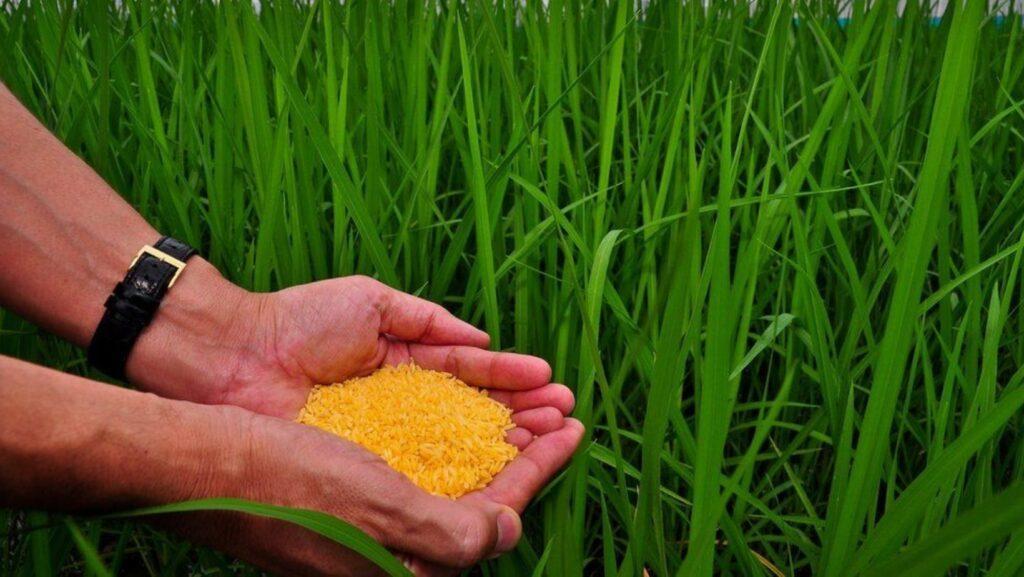 green revolution, philippines, irri, rice, golden rice, food sustainability